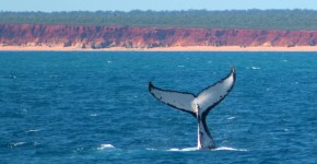 Humpback Whale calf at James Price Point