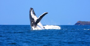 Humpback Whale at  Keppel Bay- Laureth