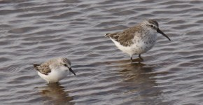 curlew sandpiper & red-necked stint-7 - Bill Breed